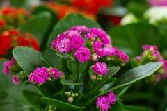 Flores de Kalanchoe imagem de stock royalty free
