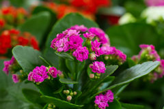 Flores de Kalanchoe Imagen de archivo libre de regalías