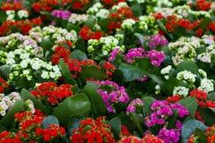 Flores de Kalanchoe Calandiva Foto de archivo libre de regalías
