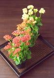 Flores de Kalanchoe en pequeños crisoles Fotografía de archivo libre de regalías