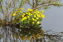 Flores de Kingcup Imagenes de archivo
