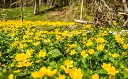 Flores de Kingcup foto de archivo libre de regalías