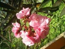 Flores de Korobi fotografia de stock