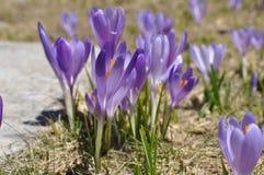Flores de Krokus Imagem de Stock