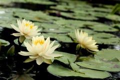 Flores de lótus amarelas Imagem de Stock Royalty Free