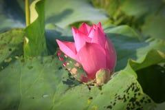 Flores de lótus bonitas Imagens de Stock Royalty Free