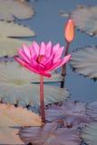 Flores de lótus bonitas Fotografia de Stock