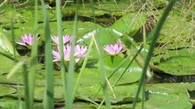 Flores de lótus bonitas na água vídeos de arquivo