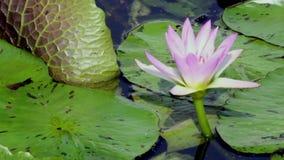 Flores de lótus bonitas na água video estoque