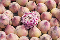 Flores de lótus cor-de-rosa Imagens de Stock Royalty Free