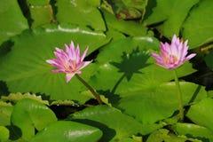 Flores de lótus cor-de-rosa Fotografia de Stock Royalty Free