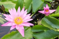 Flores de lótus cor-de-rosa da cor na lagoa imagens de stock royalty free