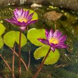 Flores de lótus cor-de-rosa na lagoa Imagens de Stock Royalty Free