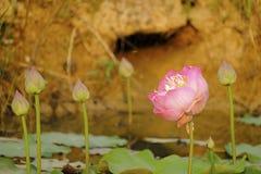 Flores de lótus cor-de-rosa imagem de stock
