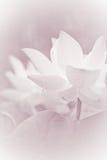 Flores de lótus macias Imagens de Stock Royalty Free