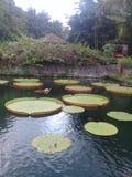 flores de lótus na lagoa de peixes de bali do gangga do tirta imagens de stock royalty free
