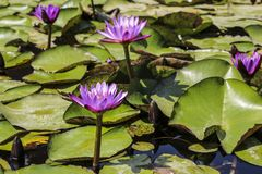 Flores de lótus roxos Foto de Stock Royalty Free