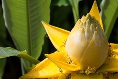 Flores de lótus surpreendentes As flores de lótus amarelas grandes, Tailândia Fotos de Stock