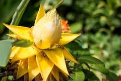 Flores de lótus surpreendentes As flores de lótus amarelas grandes, Tailândia Fotos de Stock Royalty Free