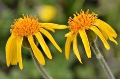 Flores de la árnica de la montaña Fotografía de archivo