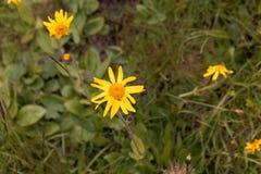 Flores de la árnica Montana de la perdición del ` s del lobo fotografía de archivo