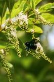 Flores de la abeja de carpintero y de Rose del chino Imágenes de archivo libres de regalías
