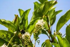 Flores de la abeja de carpintero y de Rose del chino Imagen de archivo libre de regalías