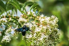 Flores de la abeja de carpintero y de Rose del chino Foto de archivo libre de regalías