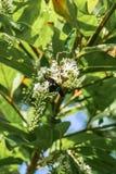 Flores de la abeja de carpintero y de Rose del chino Foto de archivo