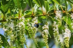 Flores de la abeja de carpintero y de Rose del chino Fotos de archivo