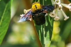 Flores de la abeja de carpintero y del Cestrum del día Fotografía de archivo