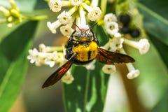 Flores de la abeja de carpintero y del Cestrum del día Fotos de archivo