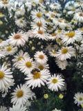 Flores de la abeja de la margarita Foto de archivo libre de regalías