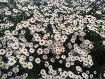 Flores de la abeja de la margarita Fotos de archivo