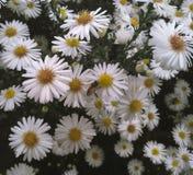 Flores de la abeja de la margarita Imagenes de archivo