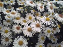 Flores de la abeja de la margarita Imagen de archivo