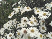 Flores de la abeja de la margarita Fotografía de archivo
