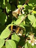 Flores de la abeja del abejorro Imagen de archivo libre de regalías