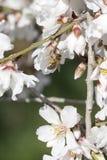 flores de la abeja y de la almendra Fotos de archivo libres de regalías