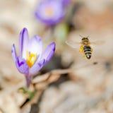 Flores de la abeja y de la primavera del vuelo Fotografía de archivo