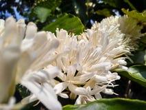 Flores de la abeja y del café Foto de archivo libre de regalías