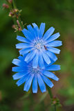 Flores de la achicoria Fotografía de archivo