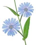 Flores de la achicoria Fotos de archivo libres de regalías