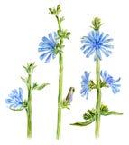 Flores de la achicoria de la acuarela Imagen de archivo
