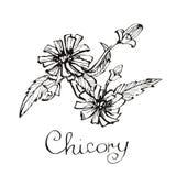 Flores de la achicoria, ejemplo dibujado mano del vector stock de ilustración