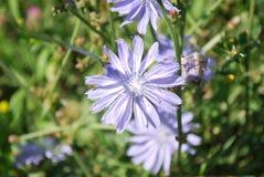 Flores de la achicoria salvaje Imagenes de archivo