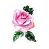 Flores de la acuarela - rosa del rosa, Fotos de archivo