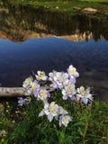 Flores de la aguileña al lado de un lago inmóvil de la montaña Imagen de archivo