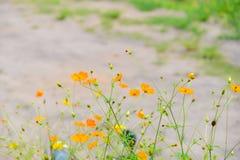 Flores de la aguja española de la falta de definición en naturaleza Imagen de archivo