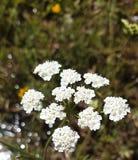 Flores de la albahaca fotografía de archivo libre de regalías